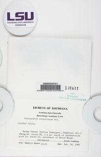 Coenogonium implexum image