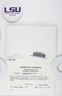 Enchylium conglomeratum image