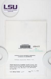 Collema nigrescens image