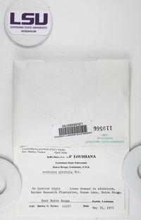 Coniarthonia pyrrhula image