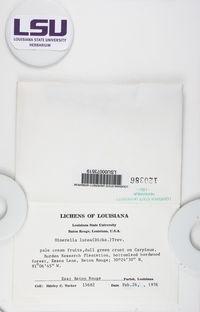Coenogonium luteum image