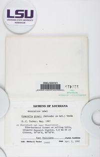 Coenogonium pineti image