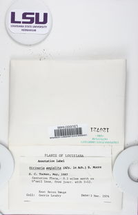 Dirinaria aegiliata image