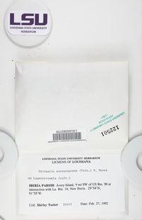 Dirinaria purpurascens image