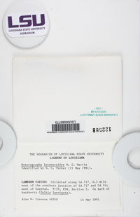 Enterographa pallidella image