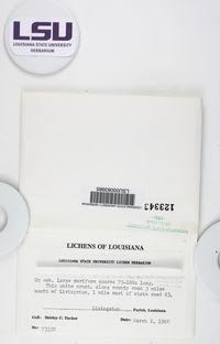 Fissurina cypressi image