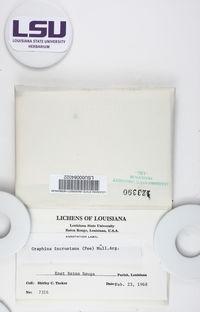 Fissurina incrustans image