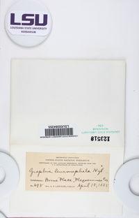 Fissurina leuconephela image