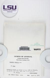 Dyplolabia afzelii image