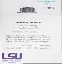 Thelotrema lathraeum image