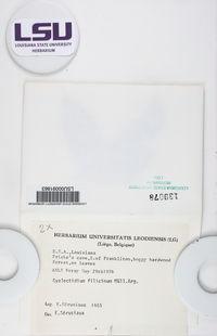 Gyalectidium filicinum image