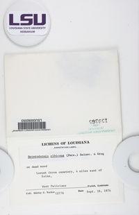 Heterodermia albicans image