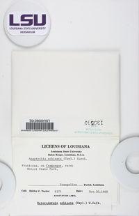 Heterodermia echinata image
