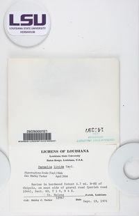 Hypotrachyna livida image
