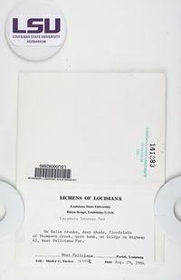 Lecanora leprosa image