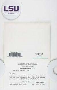 Lecanora miculata image