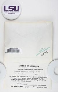 Lecanora expallens image
