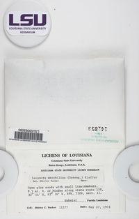 Lecanora strobilina image