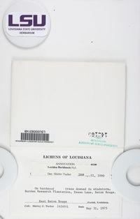 Lecidea floridensis image