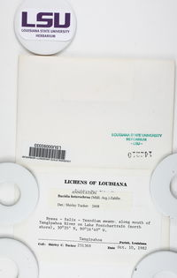 Bacidia heterochroa image