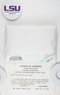 Leptogium austroamericanum image