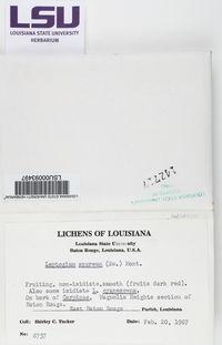 Leptogium azureum image