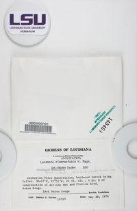 Lecanora cinereofusca image