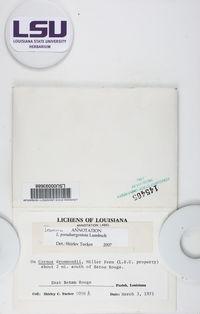 Lecanora pseudargentata image