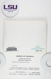 Leptogium milligranum image
