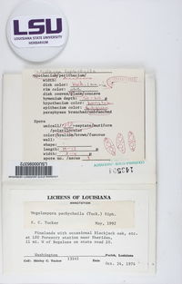 Megalospora pachycheila image