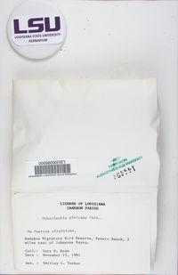 Ochrolechia africana image
