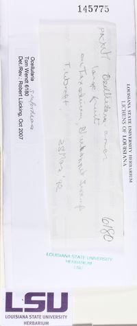 Ocellularia sanfordiana image