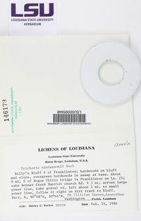 Image of Tricharia cuneata