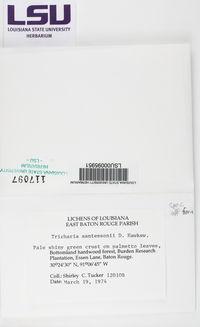 Image of Tricharia farinosa