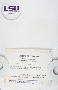 Gyalideopsis buckii image