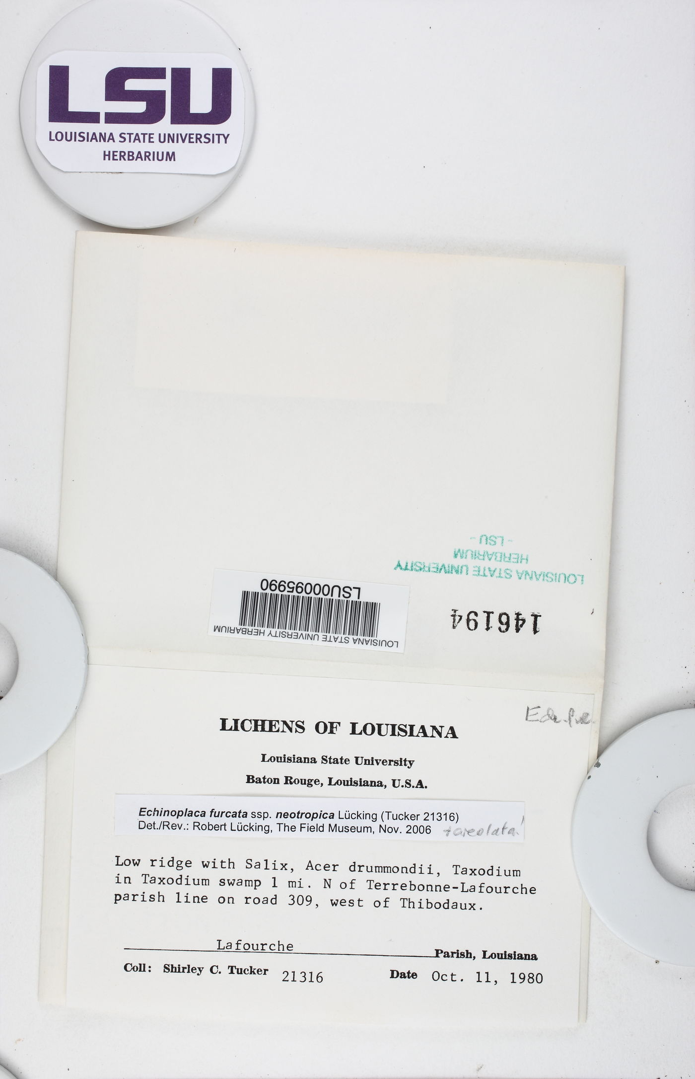 Echinoplaca furcata image