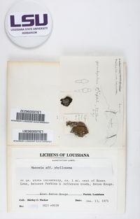 Mazosia phyllosema image