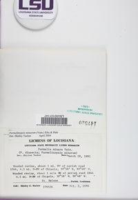 Hypotrachyna subgen. Parmelinopsis image