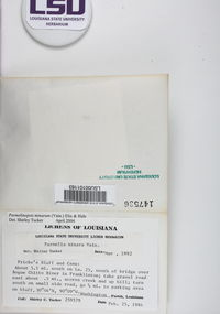 Hypotrachyna minarum image