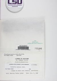 Hypotrachyna spumosa image
