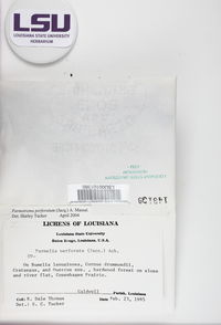 Parmotrema perforatum image