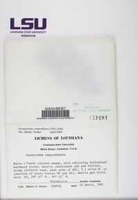 Parmotrema rampoddense image