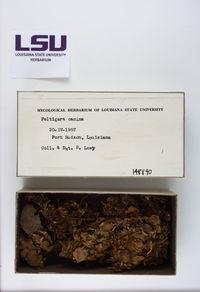 Peltigera praetextata image