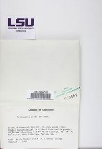 Pertusaria ostiolata image