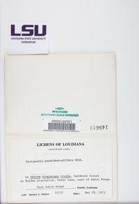 Pertusaria paratuberculifera image