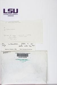 Pertusaria leioplaca image