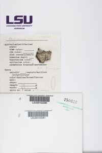 Pertusaria tetrathalamia image