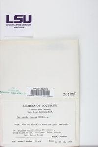 Pertusaria texana image