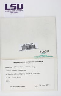 Ramalina stenospora image