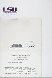 Leiorreuma explicans image